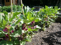 crimson flowering broad beans