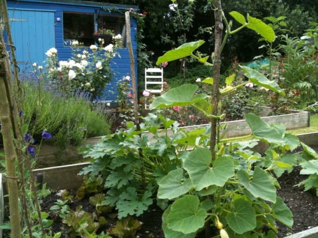 shed and courgette