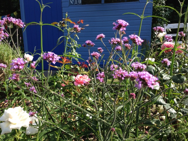 self-seeded verbena bonariensis? - yes, it was!