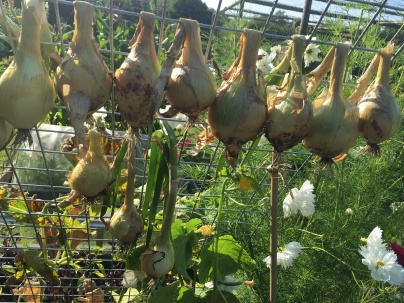 Texas onions drying