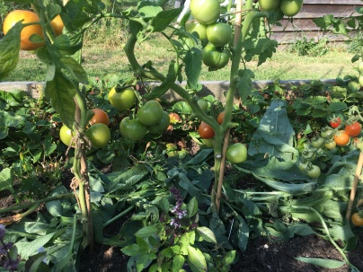 tomatoes with comfrey mulch