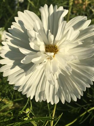 """Cosmos Bipinnatus """"Psyche White"""""""