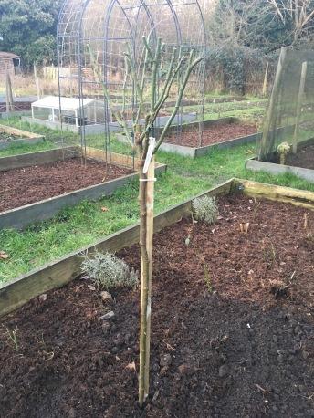 newly planted Boscobel